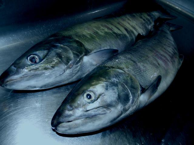 シャケ 鮭を読む時、「サケ」「シャケ」どちらで読んでいますか? 単なる方言ではない、意外な違いとは?(cdn.snowboardermag.comサプリ